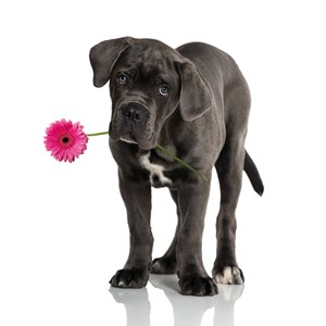 dog with flower - little dog with flower in the muzzle