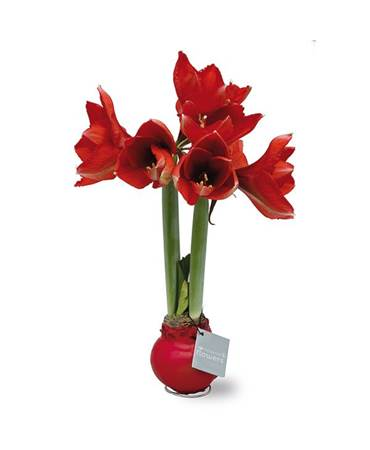 Amaryllis No-Water